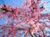 #14 しだれ桜
